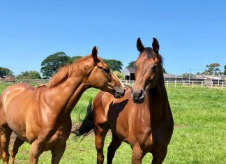 Phil Kirby fillies' Iconic Belle (Chester 4.55) and Shine Baby Shine (York 3.55) enjoying the morning sun, ahead of running on Saturday. Photo: Courtesy Phil Kirby.