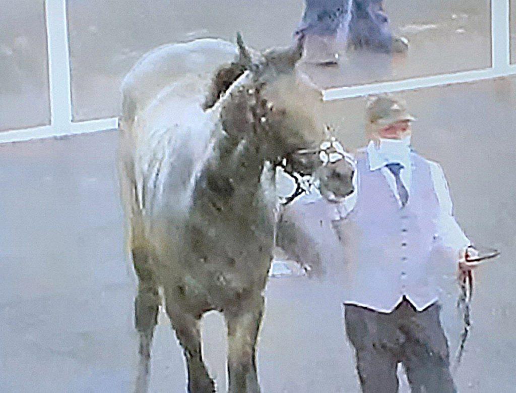 Northumberland Plate winner Caravan Of Hope with masked handler.